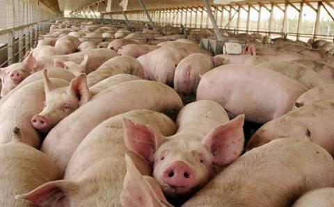 hvordan dyrkes sex byens gris