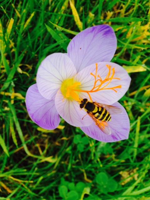 Tog en fin bild på en av Elisabeths bin i en blomma.
