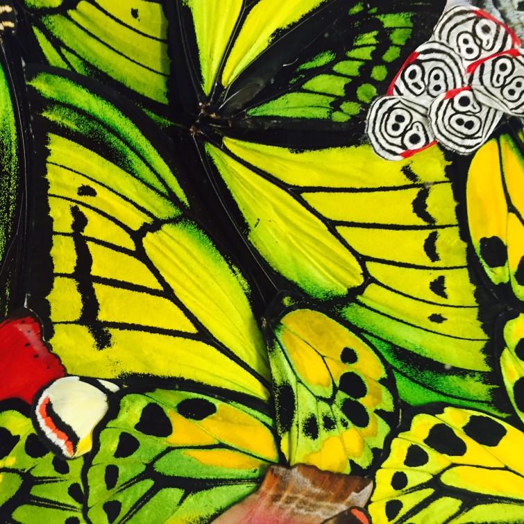 Här några fridlysta fjärilar med godkännande från Naturvårdsverket.